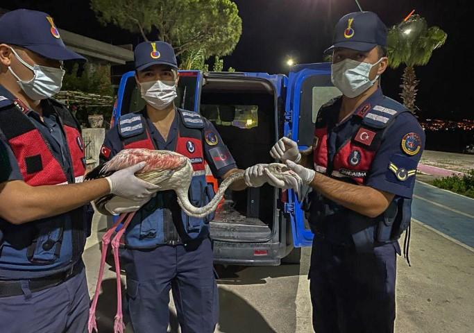 İzmir'de jandarma ekiplerince yaralı halde bulunan flamingo koruma altına alındı. ( İzmir Valiliği - Anadolu Ajansı )
