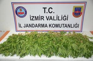 İzmir'in Aliağa ilçesinde düzenlene operasyonda, 970 kök Hint keneviri ele geçirildi, 2 kişi gözaltına alındı. ( İzmir İl Jandarma Komutanlığı - Anadolu Ajansı )