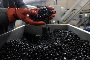 Kasım ayında başlayan zeytinyağı ihracatının ilk 2 ayda önceki sezona göre miktar bazında yüzde 346 artışla 5 bin 741 tona yükseldiği belirtildi. Ege Zeytin ve Zeytinyağı İhracatçı Birliği Başkanı Davut Er, AA muhabirine, Uluslararası Zeytinyağı Konseyi verilerine göre dünya genelinde geçen sezon 3 milyon 159 bin ton olan zeytinyağı üretiminin bu sezon 2 milyon 700 bin ton civarında olmasının beklendiğini, sofralık zeytin üretiminin ise 2 milyon 650 bin tondan 2 milyon 700 bin tona çıkacağı yönünde tahminlerin yapıldığını söyledi. ( Ferdi Uzun - Anadolu Ajansı )
