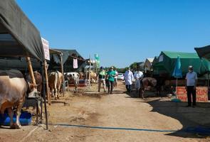 İzmir'de, 250 kurbanlık hayvan pazarında denetimler sürüyor. ( Lokman İlhan - Anadolu Ajansı )