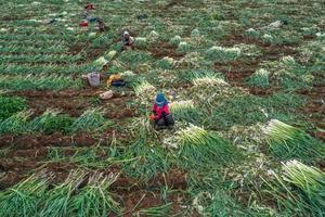 Türkiye'nin kışlık sebze üretim merkezilerinden İzmir'de hasat devam ediyor. İzmir'de 429 bin dekar alanda 1 milyon 700 bin ton sebze üretimi yapılıyor. Bunun 123 bin dekar alanında ise 291 bin ton kışlık sebze üretiliyor. İzmir Türkiye'de karnabahar, brokoli, ıspanak, enginar, kereviz ve pırasa üretiminde ilk sırada bulunuyor. Torbalı ilçesinde mevsimlik tarım işçileri sabahın erken saatlerinde başladıkları pırasa hasadına günün ilerleyen saatlerine kadar devam ediyor. İşçiler, tek tek topraktan söktükleri pırasaları dış kabuklarından temizleyip balyalayarak traktörlere yüklüyorlar. ( Mahmut Serdar Alakuş - Anadolu Ajansı )