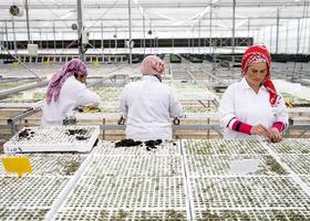 İzmir'in Bayındır ilçesinde yaklaşık 20 yıl önce evlerin bahçelerinde yetiştirilen başta fesleğen ve diğer süs bitkilerinin pazarlanmasıyla başlayan süs bitkileri üreticiliği, bugün ilçeye yaklaşık 300 milyon liralık katma değer üreten bir sektör haline geldi. Açık alanda ve seralarda irili ufaklı 600 üretim merkezinin bulunduğu ilçe, yetiştirilen binden fazla süs bitkisi türüyle Türkiye'nin talebini karşıladığı gibi ve yurt dışına da ürün gönderiyor.  ( Mahmut Serdar Alakuş - Anadolu Ajansı )